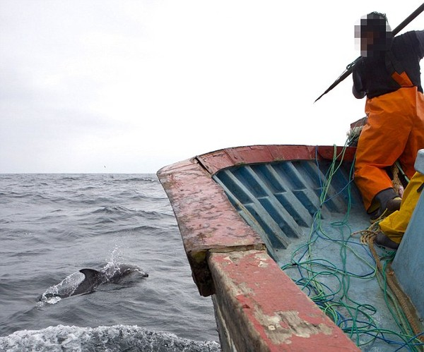Cảnh săn bắt cá heo đáng sợ ở Peru
